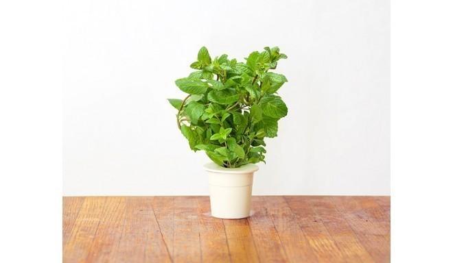 Click & Grow Smart Herb Garden кассета, Мята (3 шт)