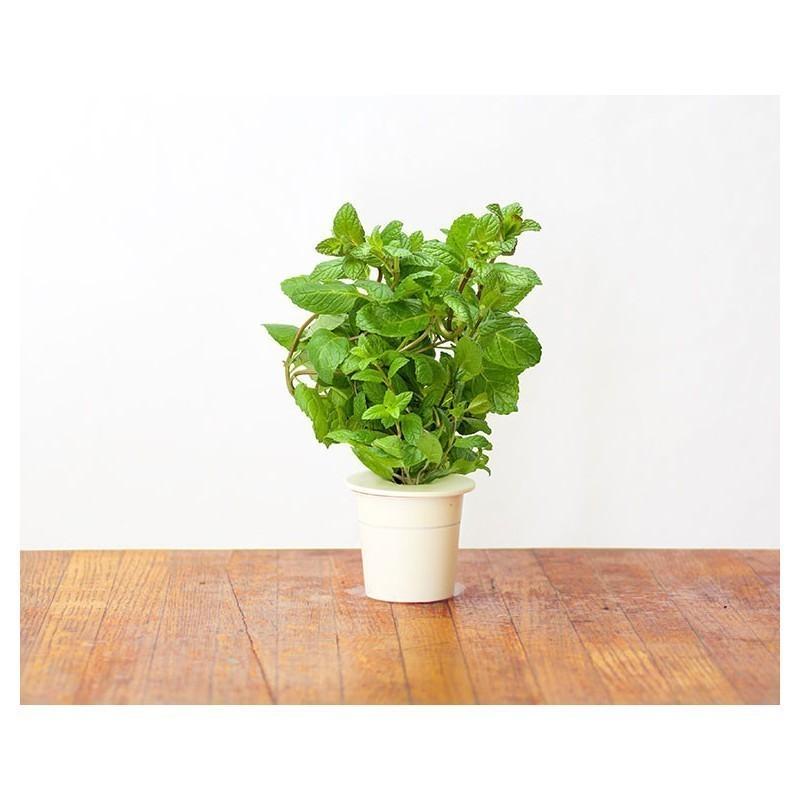 Click & Grow Smart Herb Garden refill Peppermint 3pcs