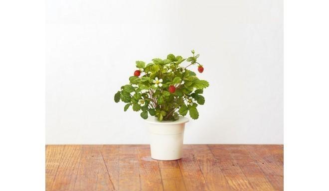 Click & Grow Smart Herb Garden кассета, Клубника (3 шт)