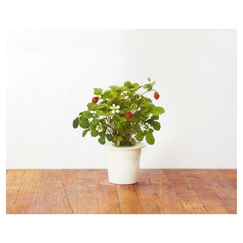 Click & Grow Smart Herb Garden refill Strawberry 3pcs