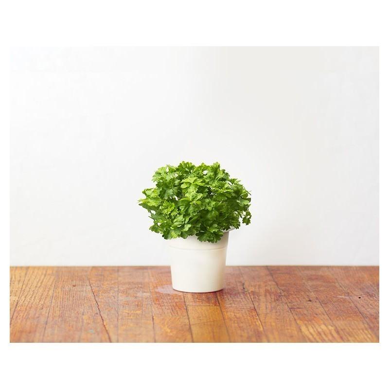 Click & Grow Smart Herb Garden refill Parsley 3pcs