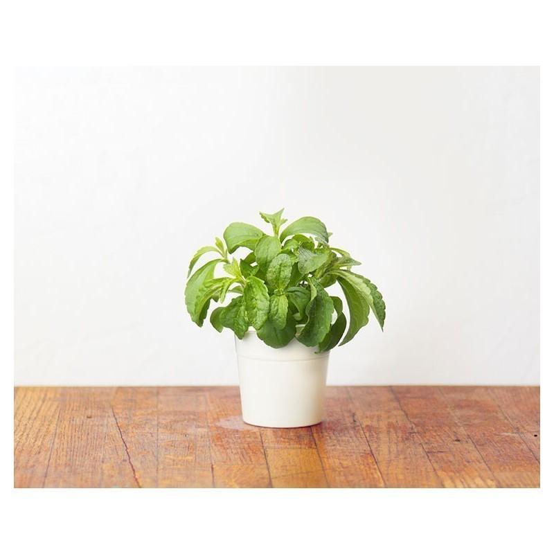 Click & Grow Smart Herb Garden refill Stevia 3tk