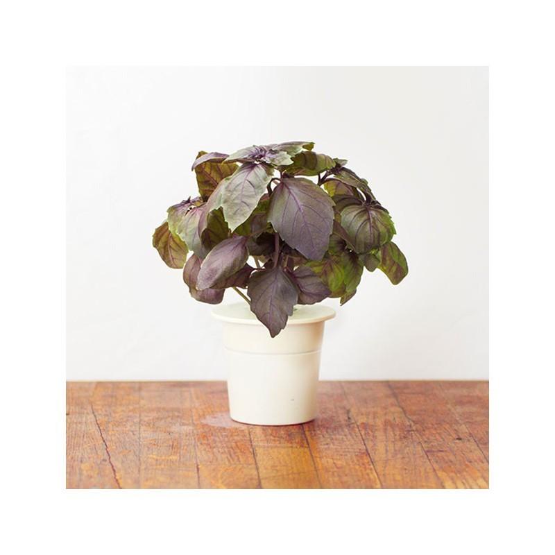 Click & Grow Smart Herb Garden refill Punane basiilik 3tk