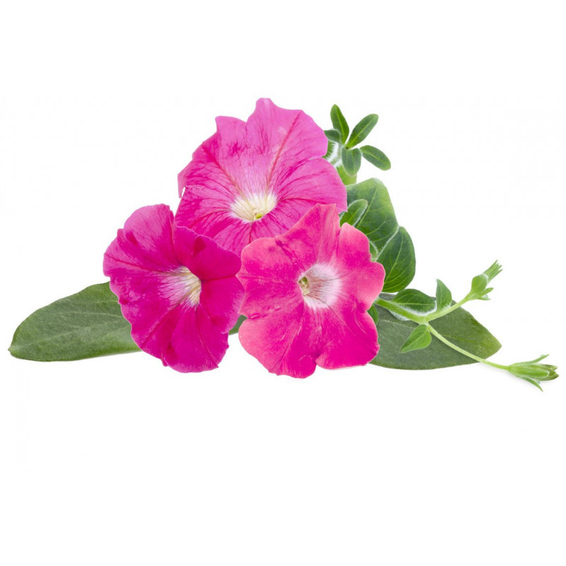 Click & Grow Smart Garden refill Roosa petuunia 3tk