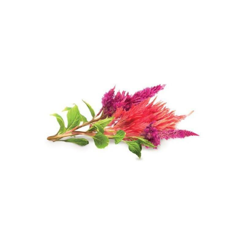 Click & Grow Smart Garden refill Kukehari 3tk