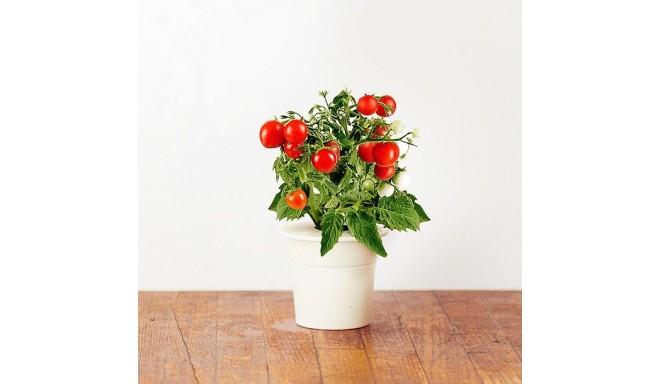 Click & Grow Smart Herb Garden кассета, Мини томат (3 шт)